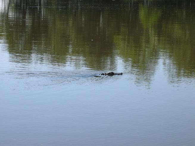 Alligator in the canal
